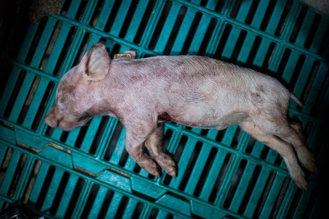 Totes Ferkel - Animalequality